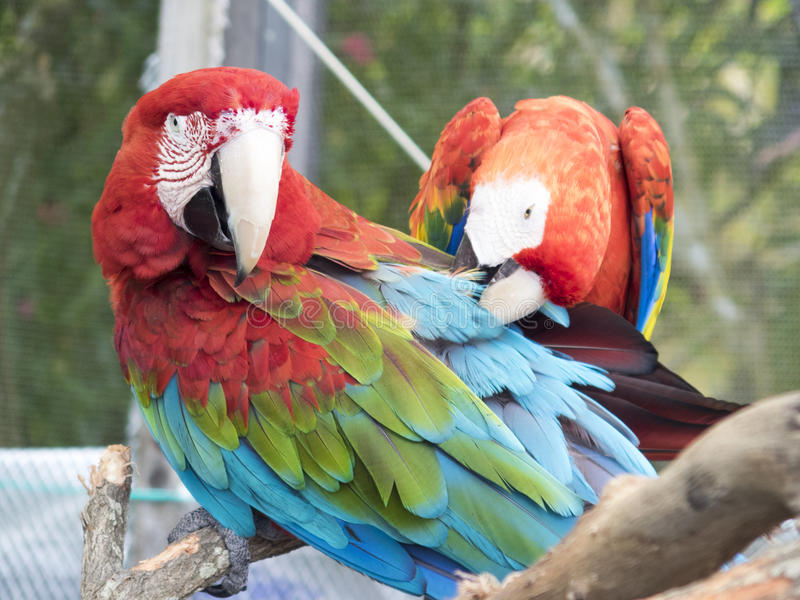 Green and red macaws at Lion Country Safari, Palm Beach royalty free stock image