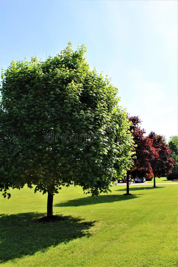 Green Maple Tree in Malone, New York, United States. Green and red maple tree on vibrant green lawn located in Malone, New York, United States royalty free stock image