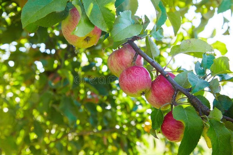 Green and red ripe apples growing in the garden royalty free stock image