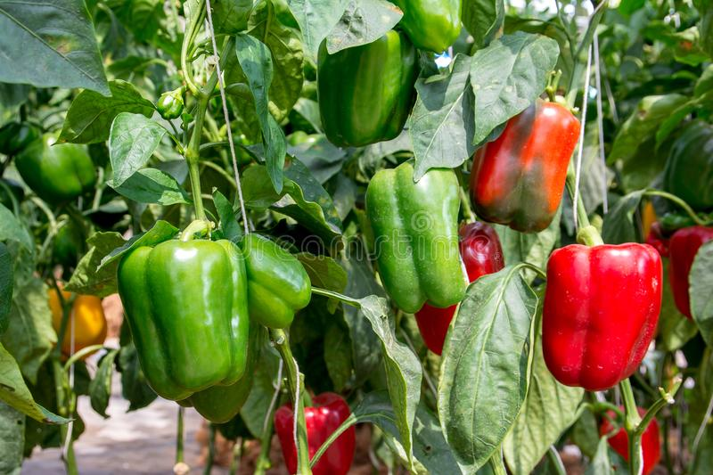Green and Red Sweet pepper Tree in garden, Bell peppers on tree royalty free stock images