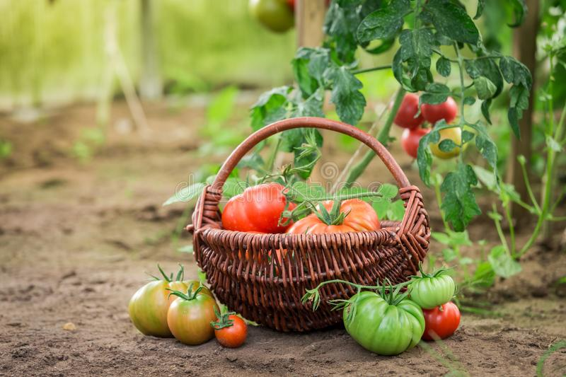 Green and red tomatoes in small summer greenhouse royalty free stock photo