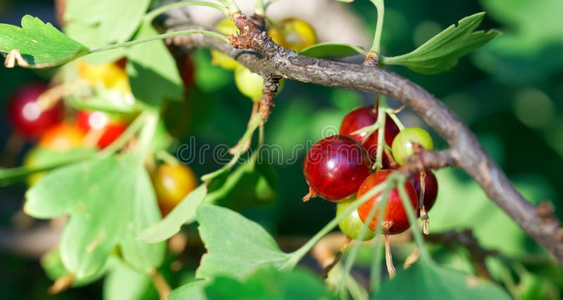 Green and red yoshta berries on a bush, in the rays of the sun. Hybrid of gooseberry and black currant. Autumn harvest. Shallow depth of field royalty free stock image