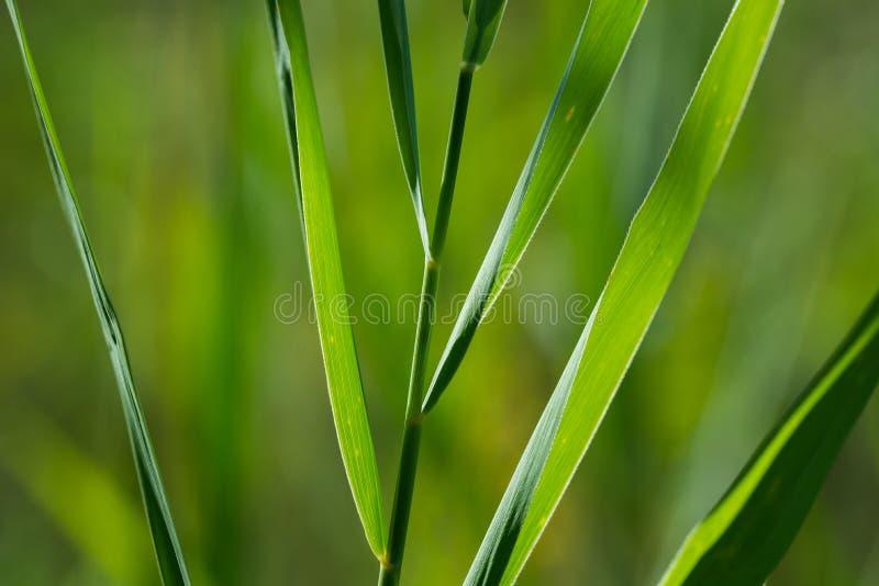 Reed leaves macro royalty free stock image