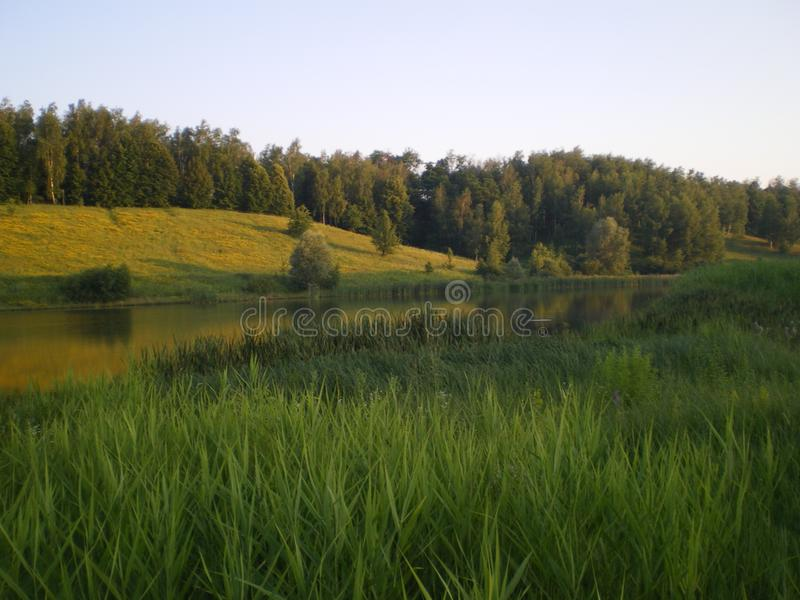 Green reed leaves on a pond in the distance forest royalty free stock photos