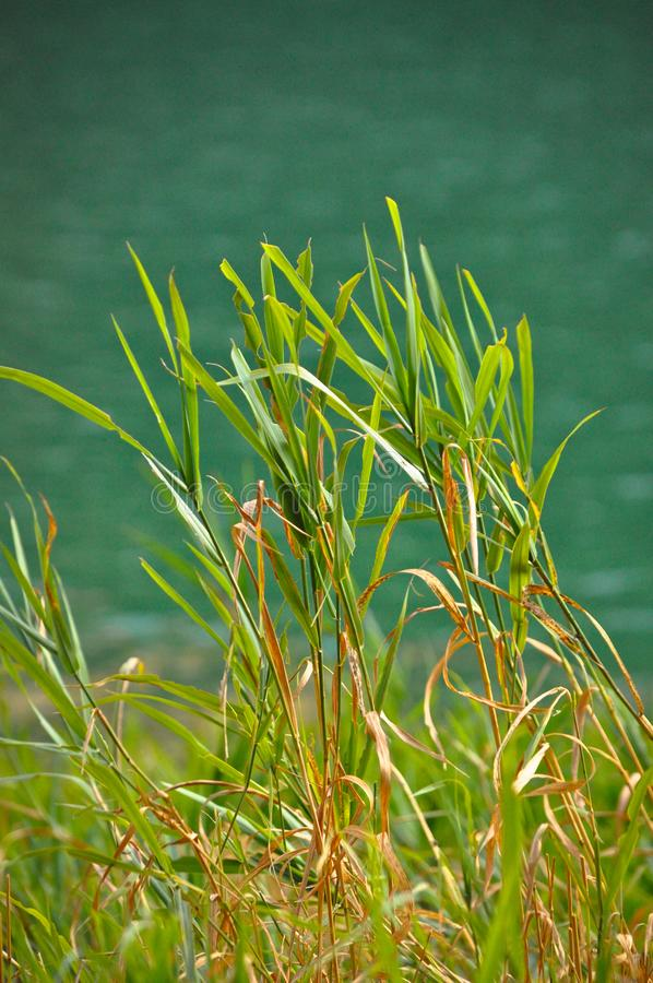 Green reeds rocking calmly by the lake. It gives peace of mind stock photography
