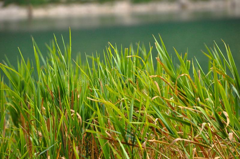 Green reeds rocking calmly by the lake. It gives peace of mind royalty free stock photos