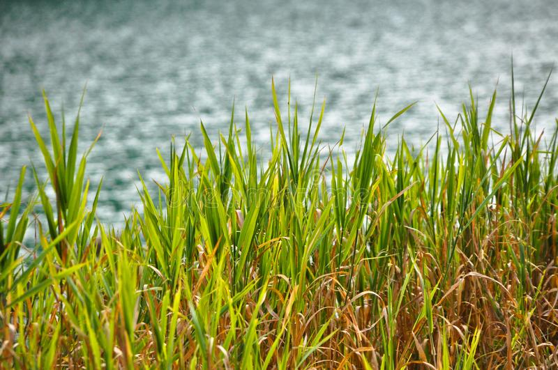 Green reeds rocking calmly by the lake. It gives peace of mind stock photos