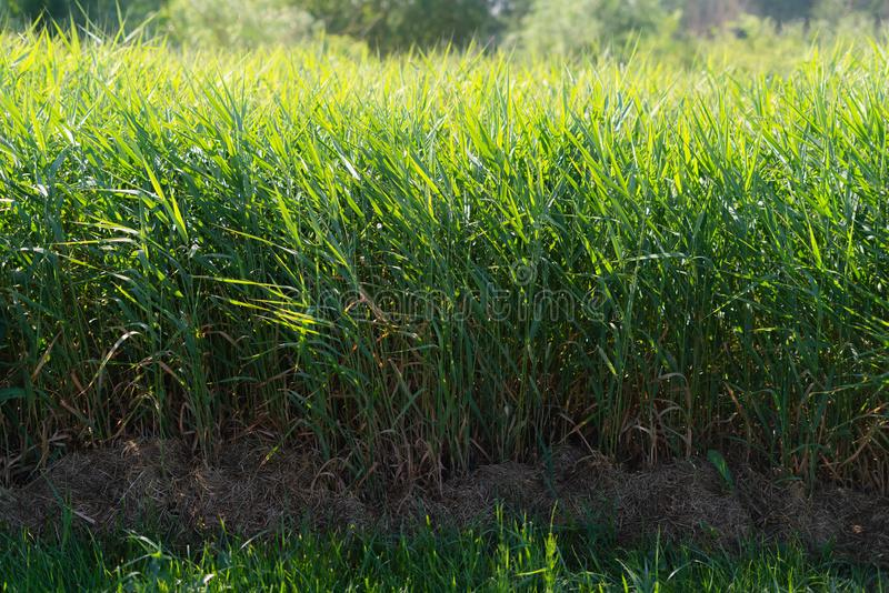 Green reeds rushes background. Brushwood of cane blowing in the wind. Wild grass next to water. Tuft of grass.  royalty free stock photo