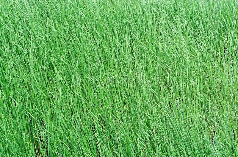 Green reeds. Texture background of the young green reeds stock photography