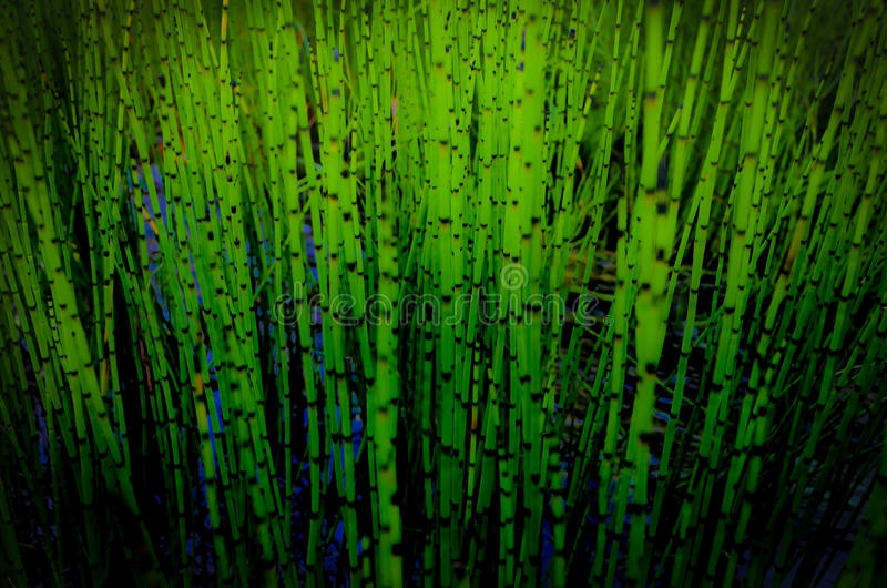 Green reeds. In a wetland area, close-up stock photography