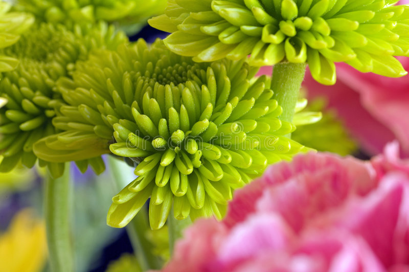 Green reflex mum. Round baseball shape balls of lime light lime green small long overlapping overlap thin petals of chrysanthemum mum asteraceae reflex type royalty free stock images