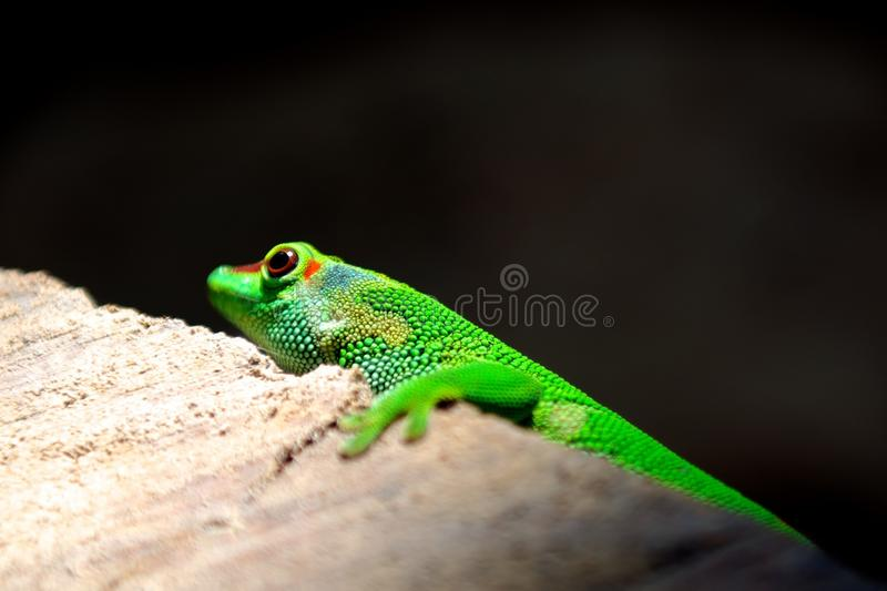 Green Reptile On Top Of White Wooden Surface Free Public Domain Cc0 Image