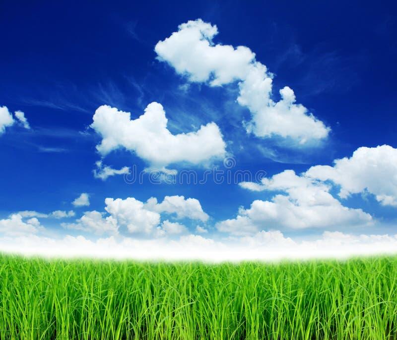 Download Green rice stock image. Image of food, farm, grassland - 21050829
