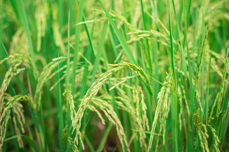 Green rice in Cultivated Agricultural Field Early Stage of Farming Plant royalty free stock photos