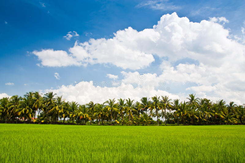 Download Green rice farm stock image. Image of meadow, blue, hills - 20693903