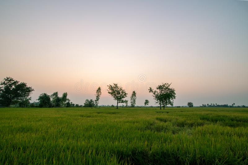 Green rice farm during sunset royalty free stock image