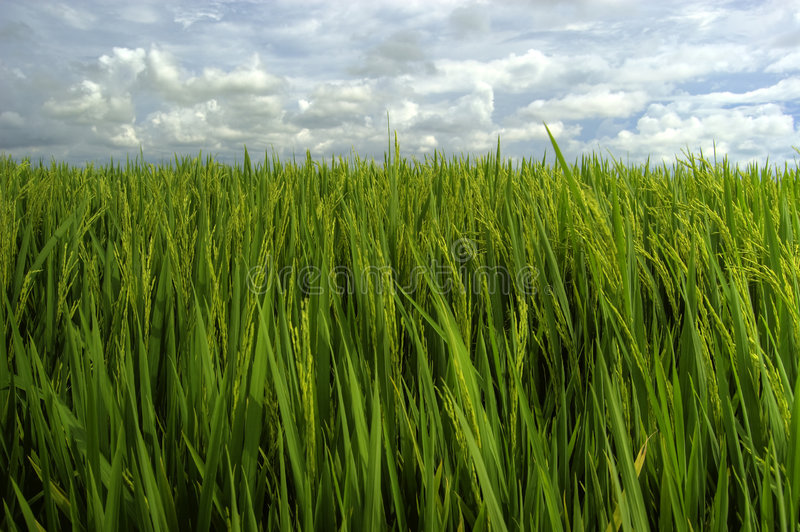 Green rice field. Landscape of green rice field, clouds and blue sky stock photography