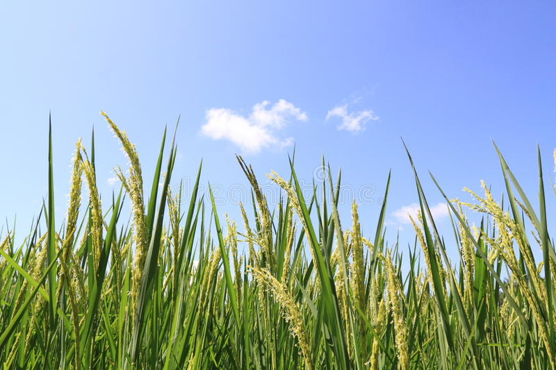 Download Green Rice Field And Blue Sky Stock Image - Image: 16999649