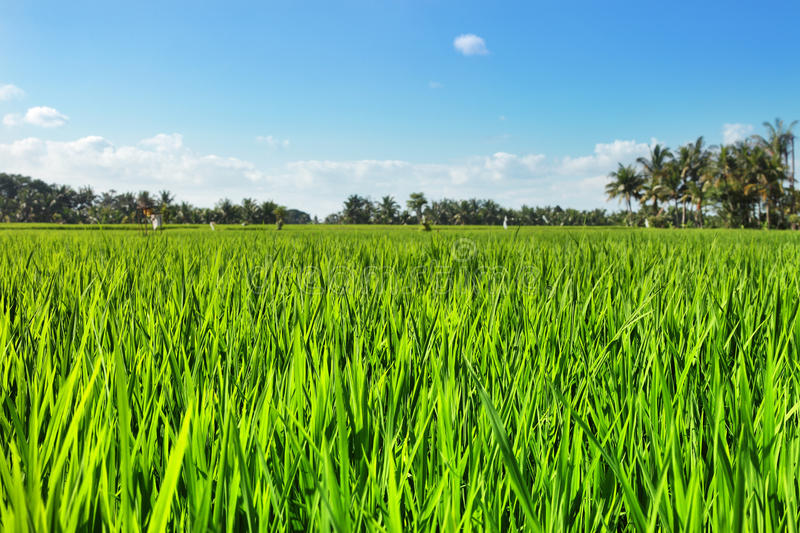 Green rice field with blue sky. Bali, Indonesia royalty free stock photos