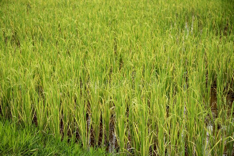 Green rice field closeup photo. Rice cob and stem in paddle. Cultivated rice growth in Asia. Tropical nature travel. Traditional rice growing. Agriculture royalty free stock image