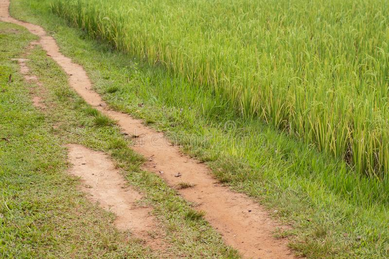 Green rice field and dirty road landscape photo. Cultivated rice growth in Asia. Tropical nature travel. Traditional rice growing. Countryside agriculture view stock photos