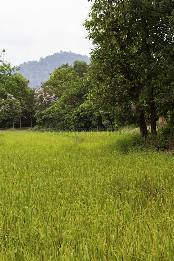 Green rice field and forest landscape photo. Cultivated rice growth in Asia. Tropical nature travel. Traditional rice growing. Countryside agriculture and royalty free stock photo