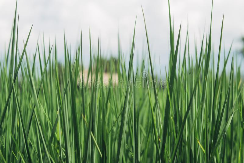 Green rice royalty free stock photos