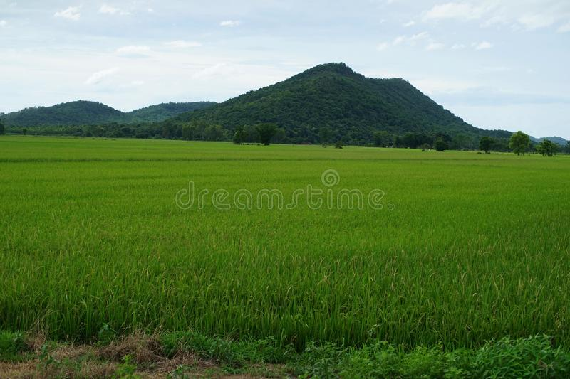 Green rice field in northern Thailand royalty free stock photos