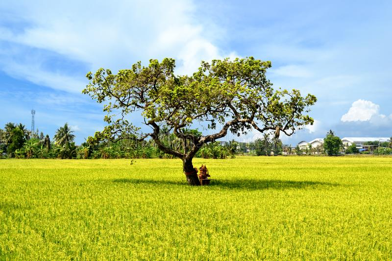 Green rice field with blue sky stock images
