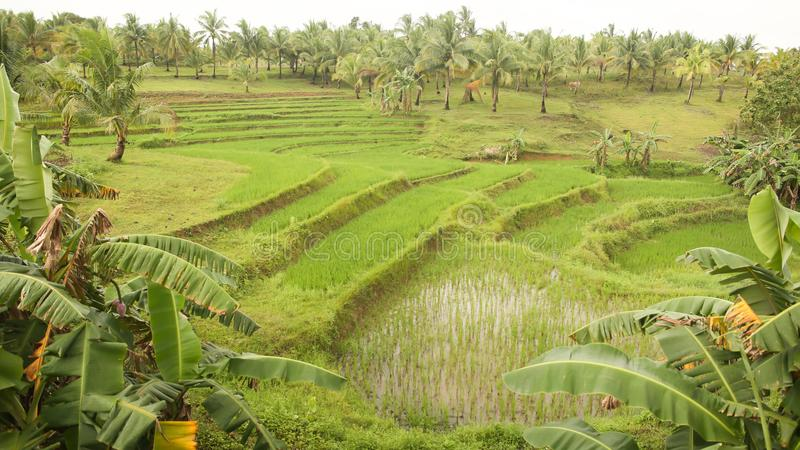 A green rice field surrounded by tall palms in one of the Philippine localities. Rice farming. royalty free stock photos
