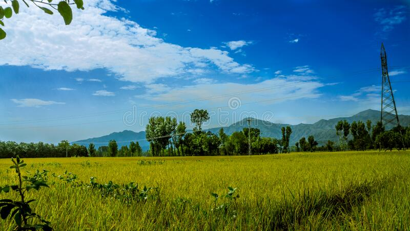 Green Rice Field Surrounded by Trees Under Clear Blue Sky stock images
