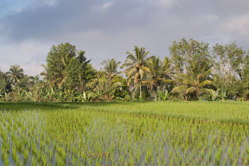 Green rice field terraces in Bali stock photography