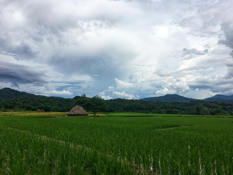 Green rice field with water and straw beside tree under white cloud and mountain. stock image
