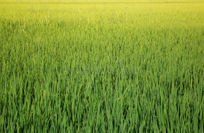Green Rice Fild In Summer stock photo