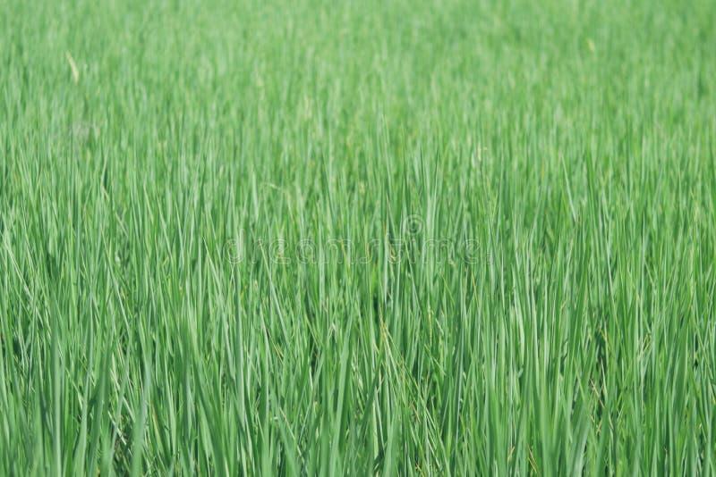 Green rice stock image