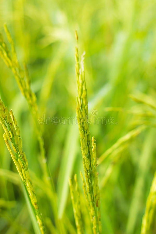 Green rice stock photos