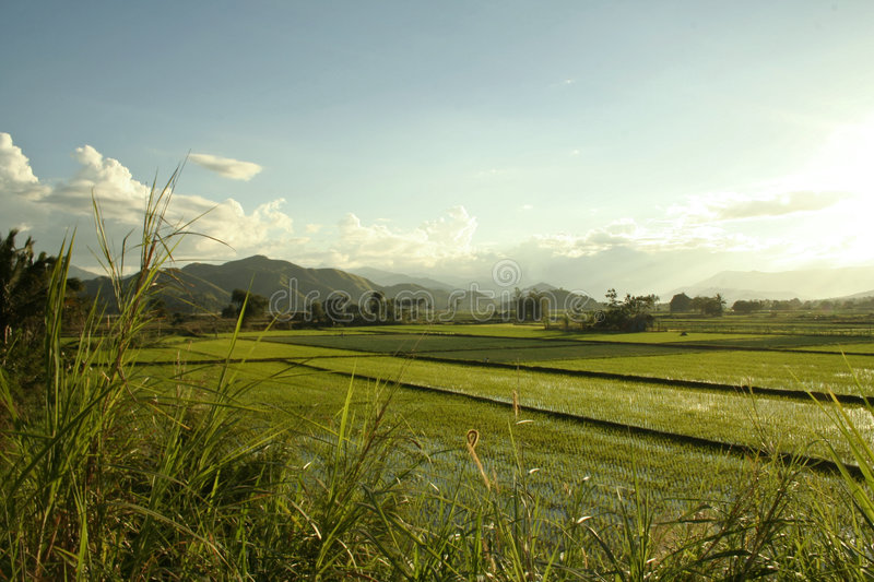 Green rice paddies philippines countryside royalty free stock images