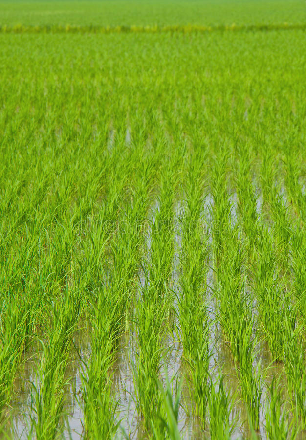 Download Green rice , plant stock photo. Image of harvest, farming - 25297728