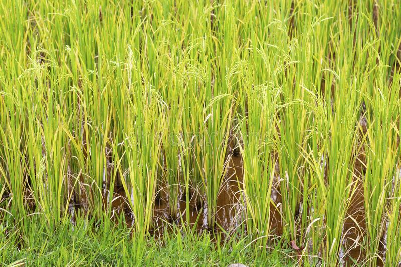 Green rice plant closeup photo. Rice cob and stem in paddle. Cultivated rice growth in Asia. Tropical nature travel. Traditional rice growing. Agriculture stock image