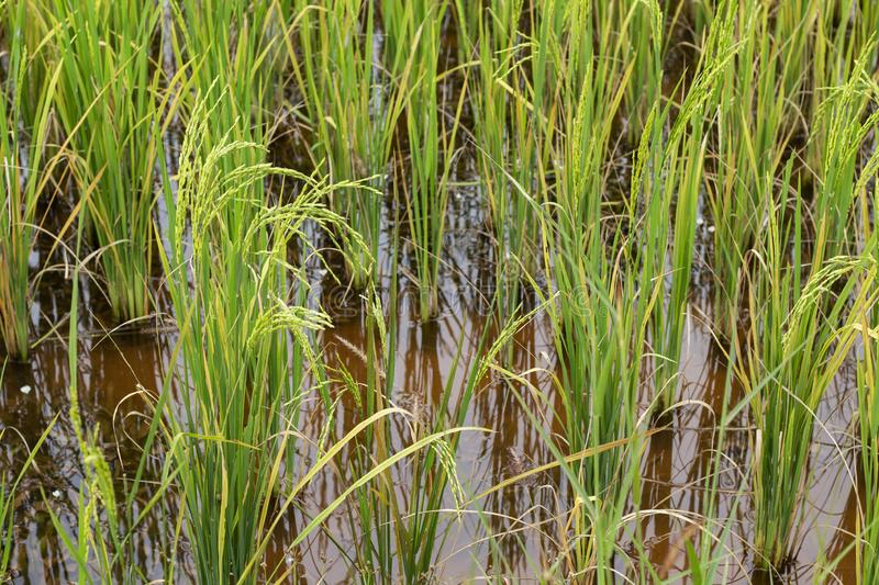 Green rice plant closeup photo. Organic rice in water paddle. Cultivated rice growth in Asia. Tropical nature travel. Traditional rice growing. Agriculture stock photography