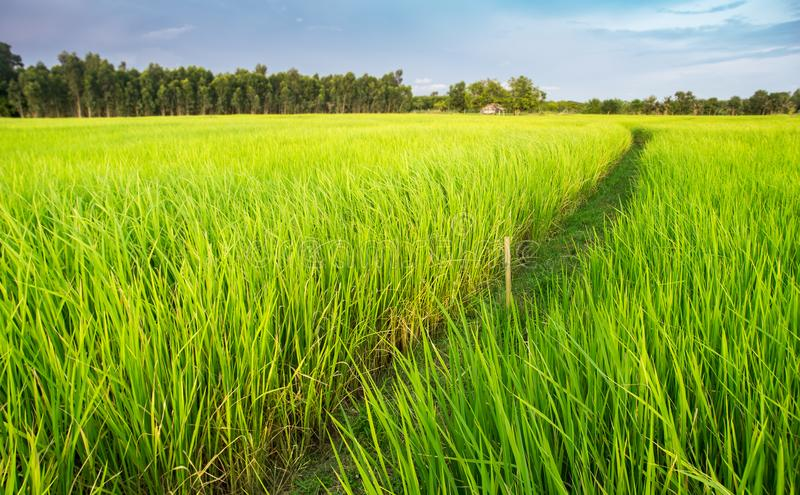 Green rice plant field in Thai farmland. royalty free stock photography