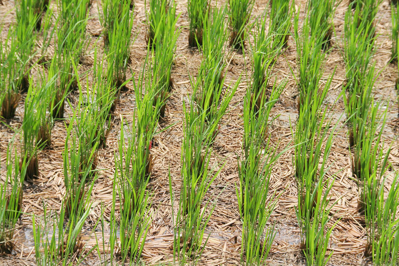 Download Green rice plants stock image. Image of asia, grain, outdoors - 14860979