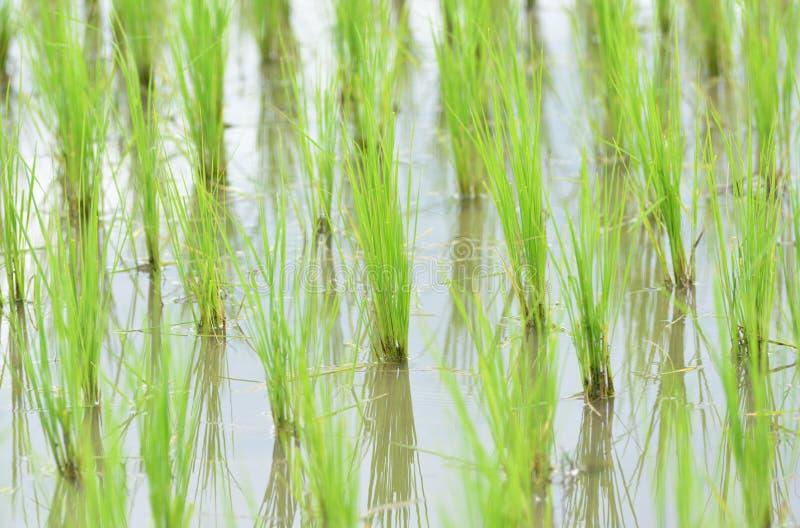 Green rice seedling prepare for transplanting. stock images