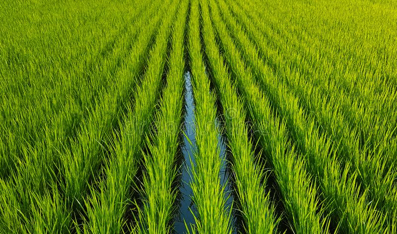 Green rice sprouts, even rows of plants. Green field with water. Background royalty free stock photo