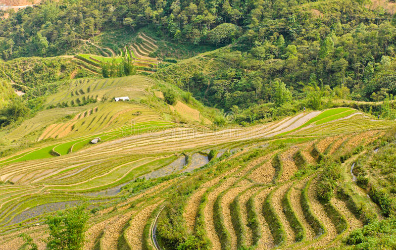 Green Rice Terraced Field Stock Images