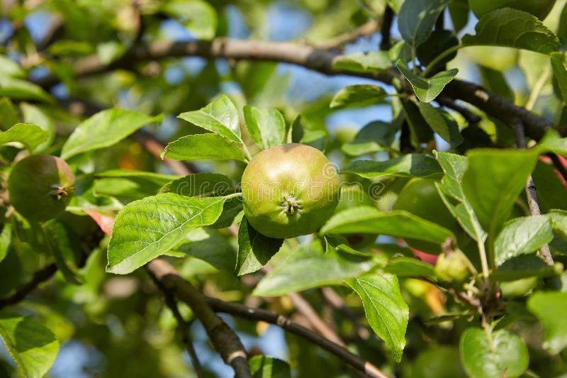 Green ripe apples growing in the garden. royalty free stock photos