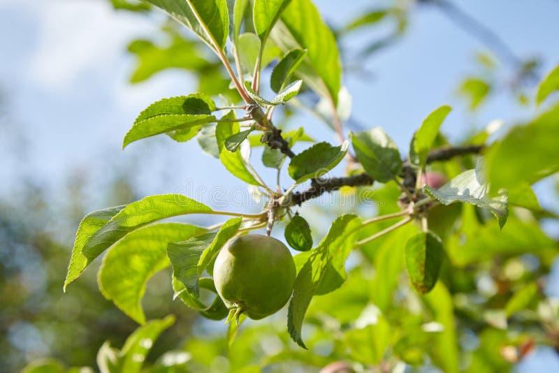Green ripe apples growing in the garden. stock photos