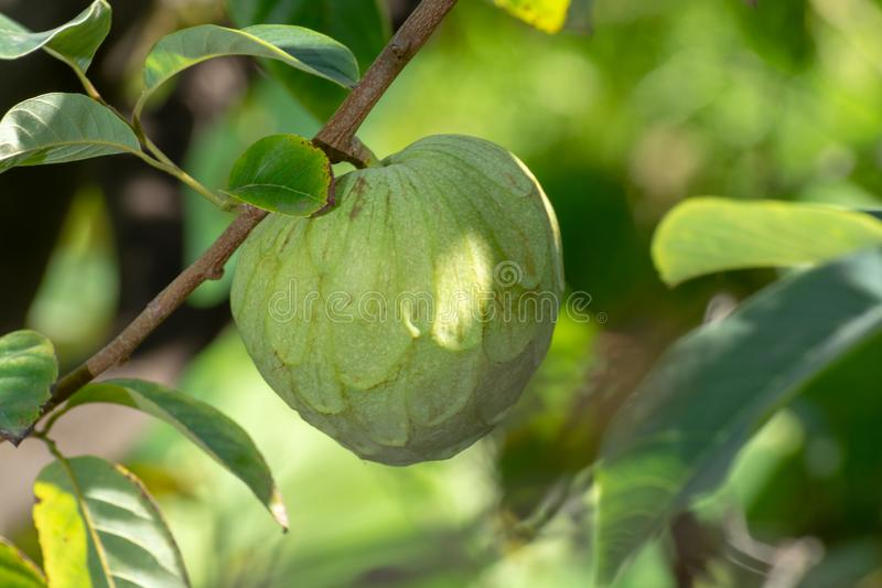 Green ripe cherimoya or ice cream exotic fruit with tasty fruit royalty free stock photography