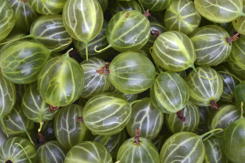 Green ripe gooseberries. As background stock photography