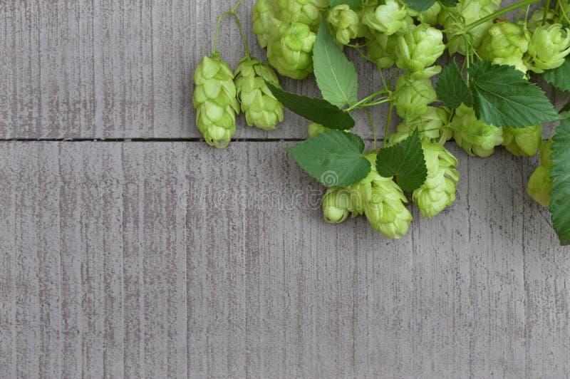 Green ripe hop cones. Beer production ingredient. stock photos